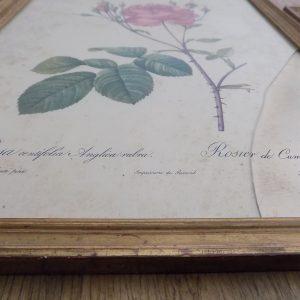 """3 gravures botaniques """"Redouté"""""""